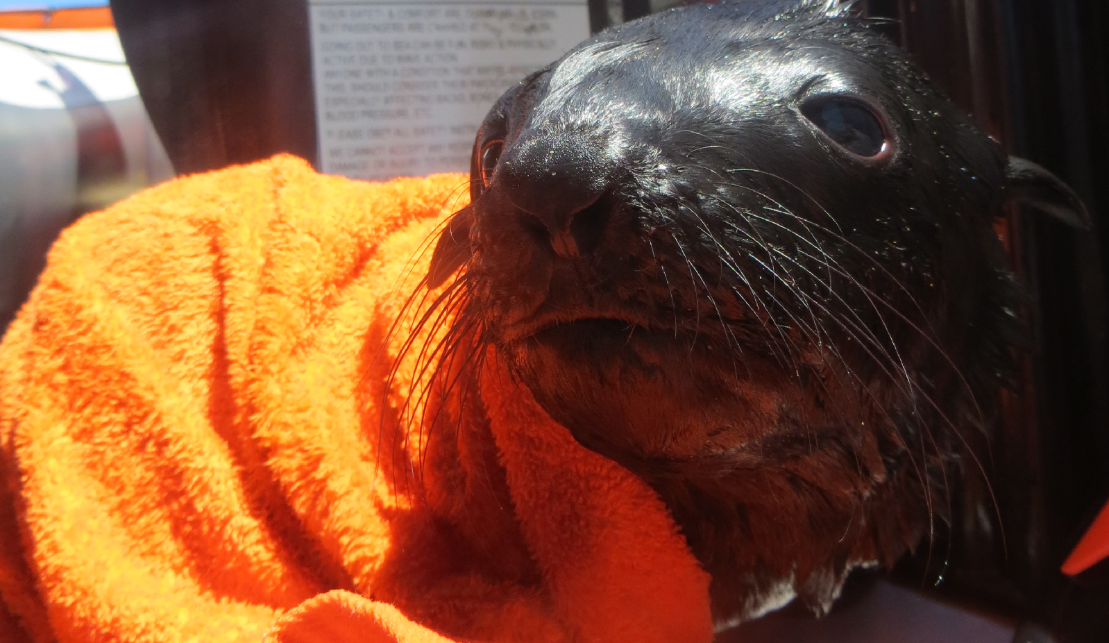 Rescued Cape fur seal pup