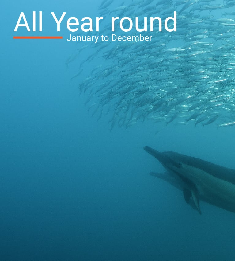 Common dolphins predating on sardines